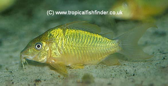 Emerald Catfish  Brochis splendens (coeruleus)