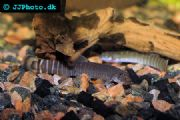 Red-tailed Loach  Aborichthys elongatus